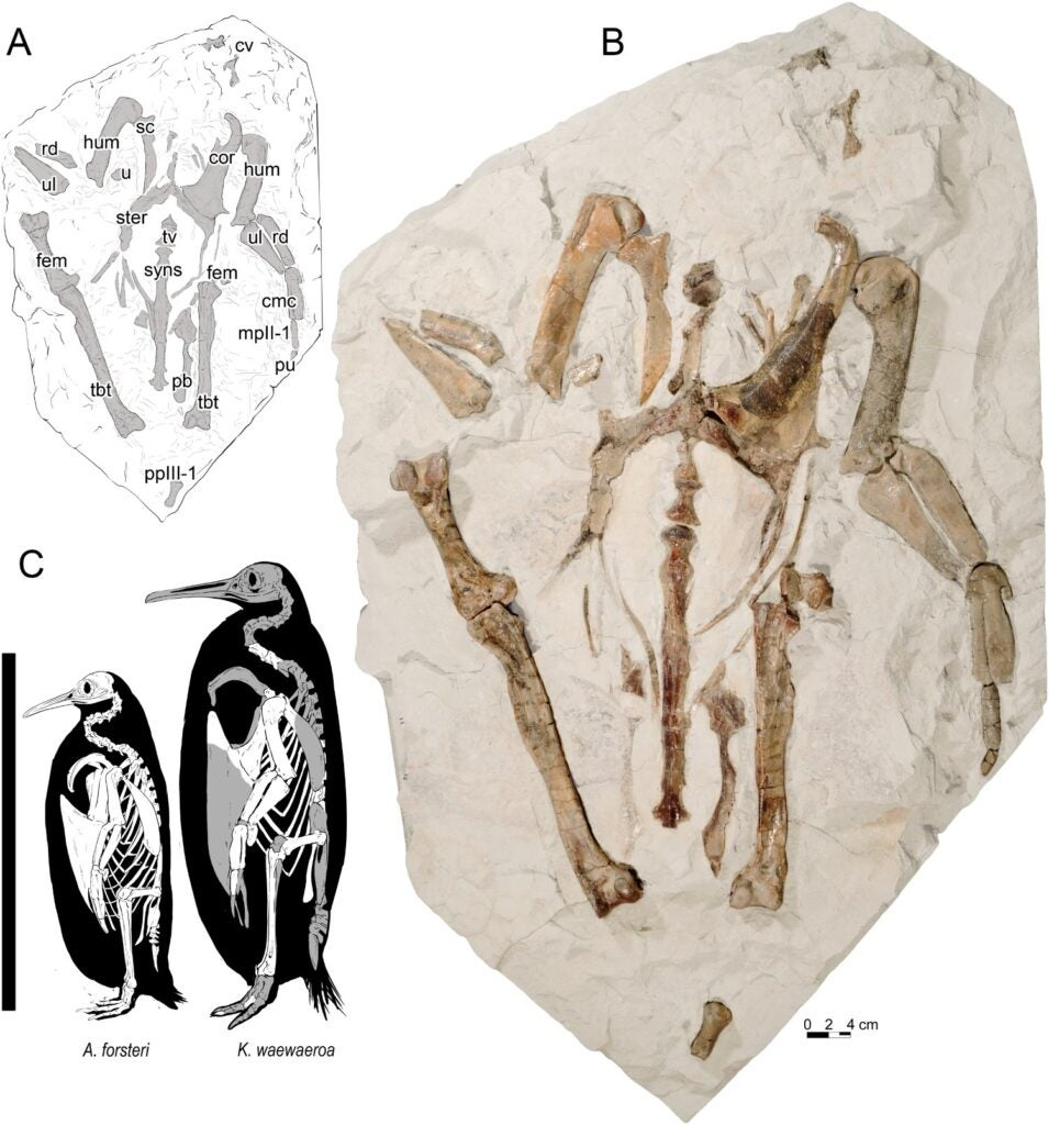 A photo of the penguin fossil, and a drawing showing the new bone sizes compared to the bones of a smaller penguin.