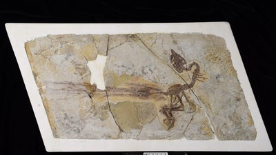 This 120-million-year-old bird may have been one of the first to shake its tail feathers