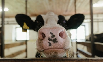 Potty-trained cows could seriously help the planet