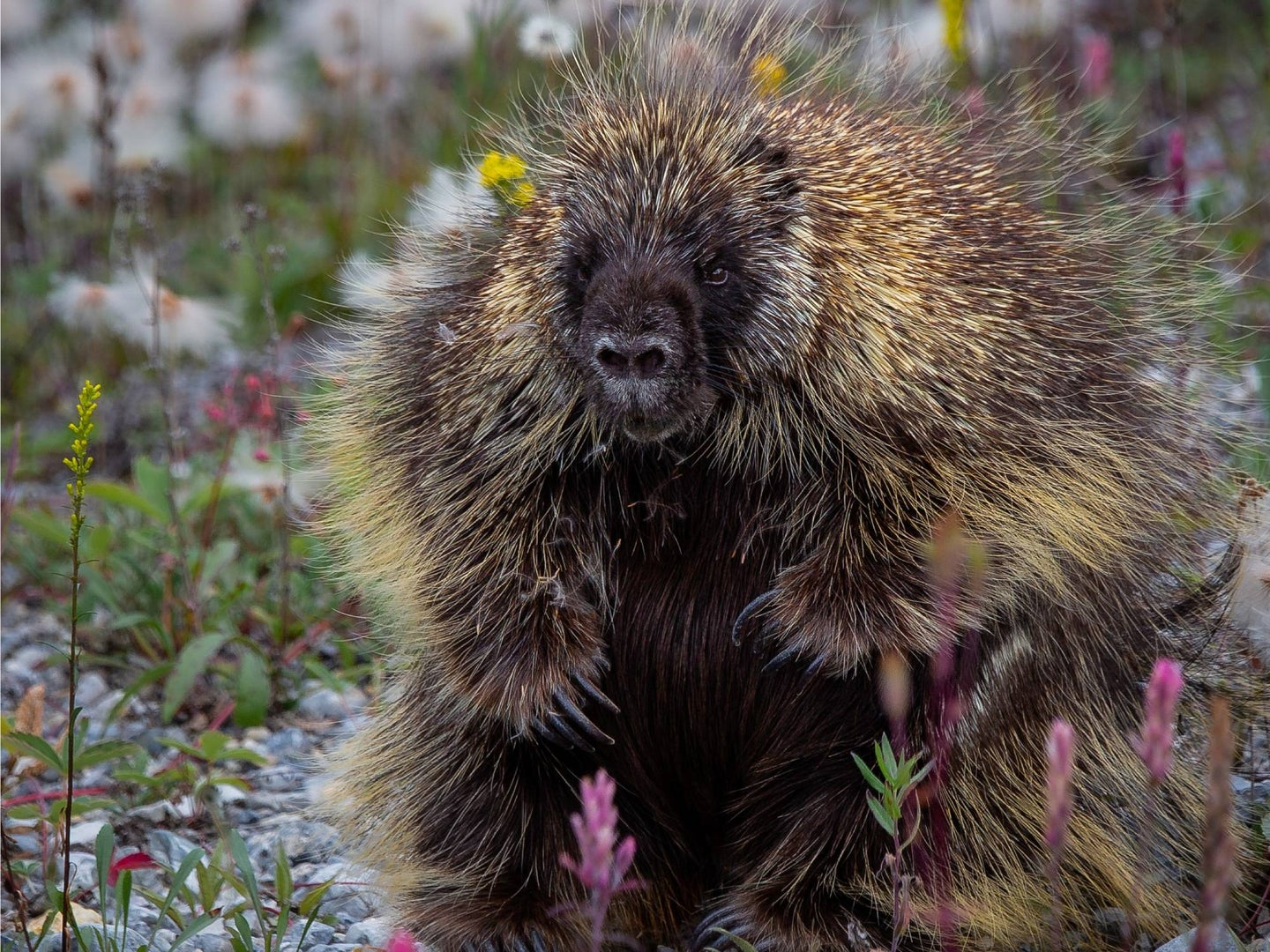 North american porcupine sitting on the ground among wild flower