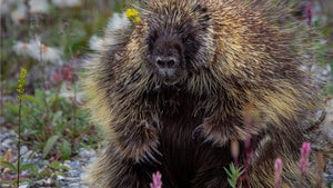 How to not get pricked by a North American porcupine