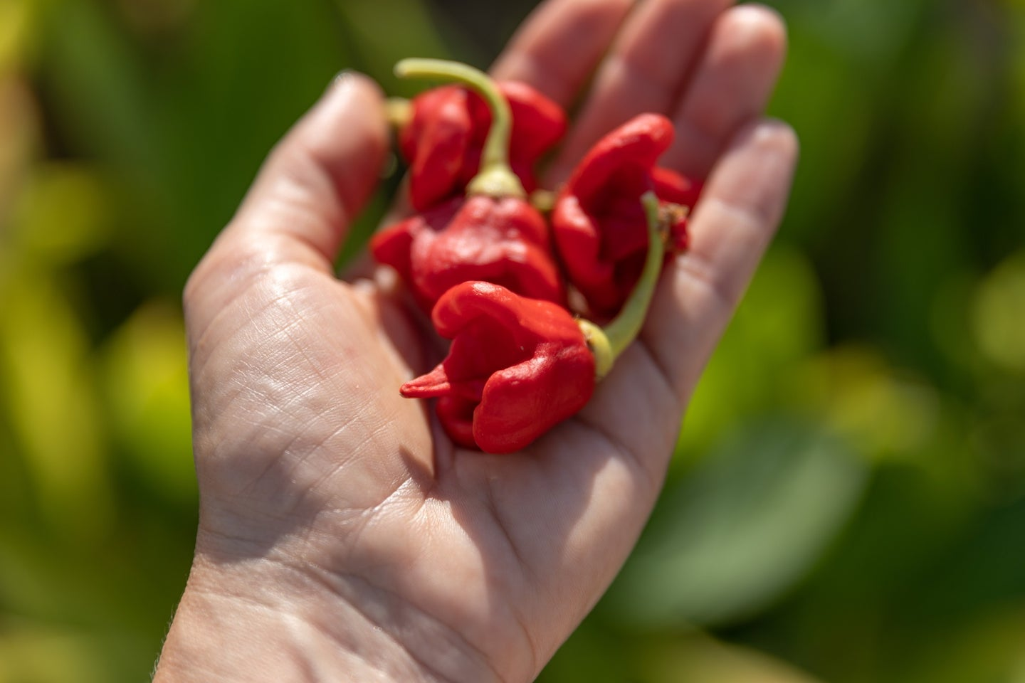 Hot chilli Carolina Reaper peppers on person's palm in summer garden.