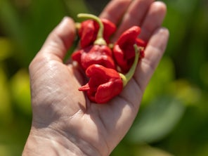 What would possess someone to eat a Carolina Reaper pepper? This writer tried to find out.