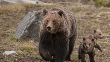 Grizzly bear family in Yellowstone National Park
