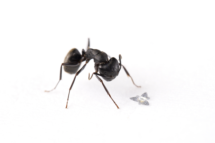 A black ant next to a microscopic flying chip with three wings.
