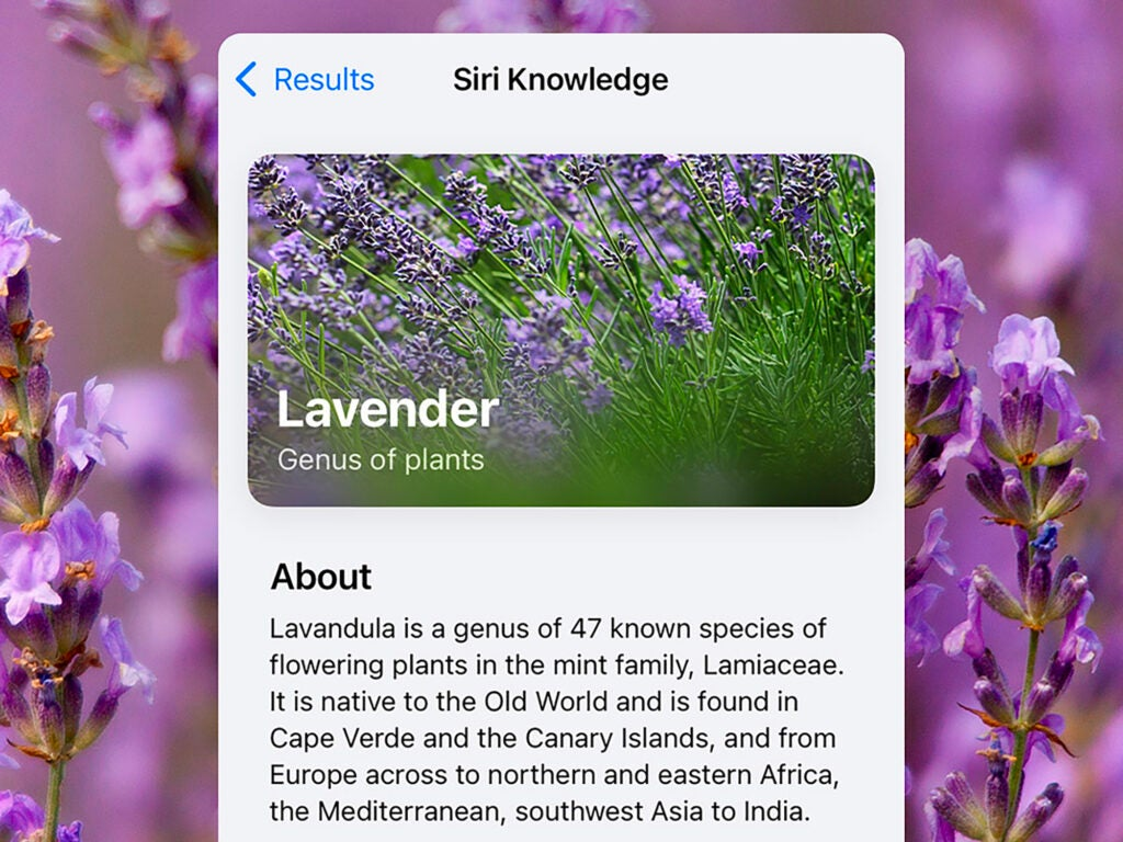 A Siri result from Visual Lookup on iOS, showing information about lavender.