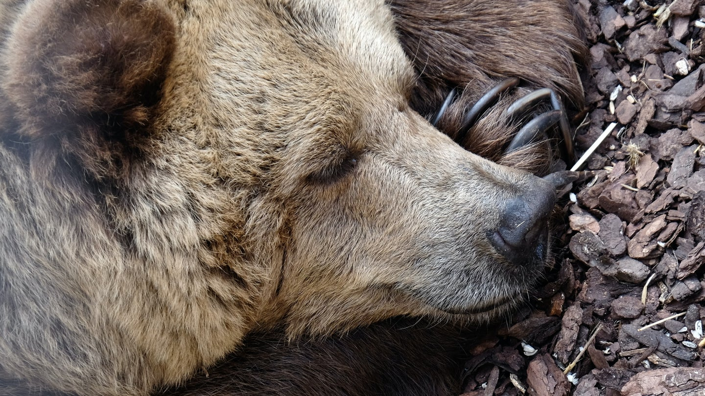 A bear sleeping, maybe after eating its fill of trash.