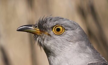 Parasitic birds like cuckoos seem to target victims who can't see well