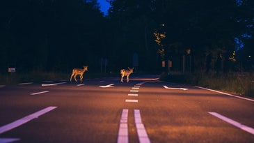 Deer on the road at night risking a car crash