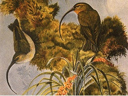 Goodbye to the Molokai creeper, the scioto madcat and 21 other species, now declared extinct