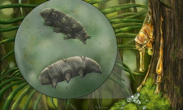 Scientists discovered an extremely rare tardigrade fossil trapped in Dominican amber