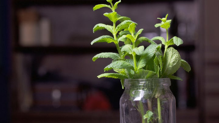 A small mint plant growing roots in a glass jar full of water.