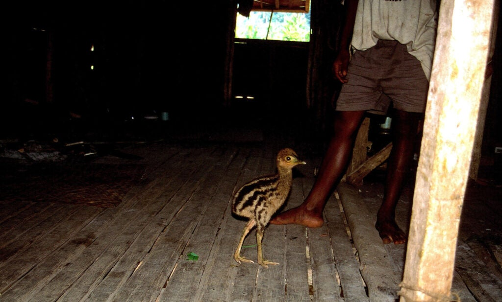 A cassowary chick with a person