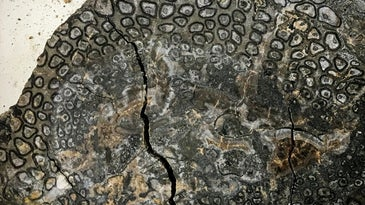 fossilized tree fern trunk