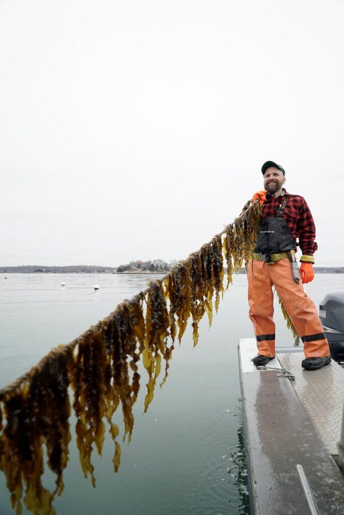 Mussel farmer in an orange wetsuit holding a long line of kelp off a dock
