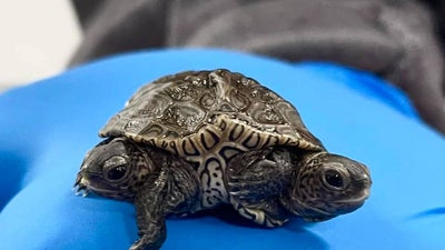 A rare two-headed turtle is alive and thriving, surprising scientists