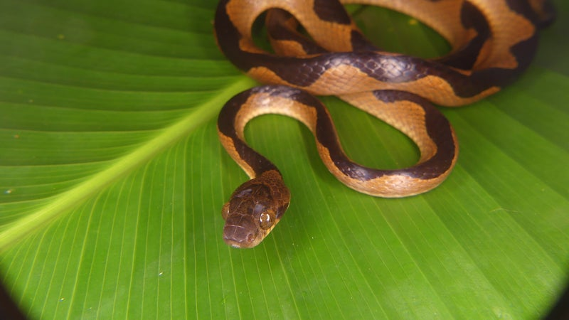 After the dinosaurs, Earth became an all-you-can-eat buffet for snakes