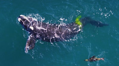 As El Niño years get worse, right whales suffer
