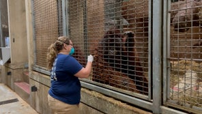 Zoo animals are getting COVID vaccines made specially for them