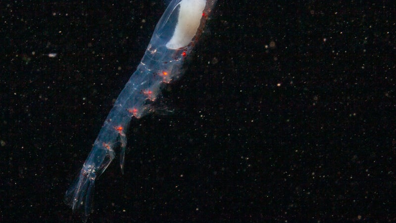 In constant darkness, Arctic krill migrate by twilight and the Northern Lights