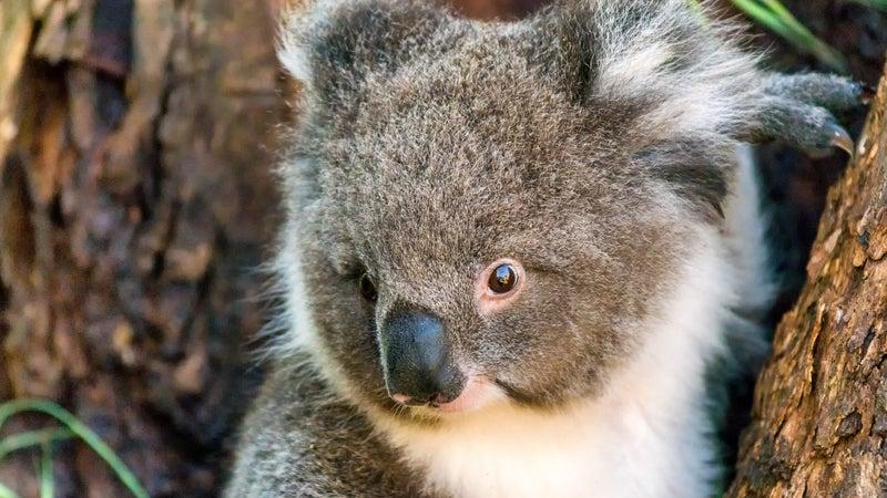 A new vaccine may curb the koala chlamydia epidemic
