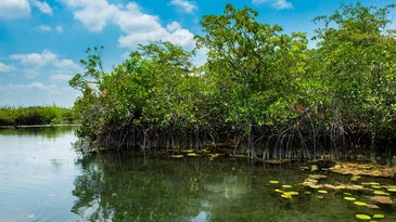 Freshwater mangrove forest off the Yucatan in Mexico and Guatemala