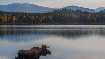 How to track and spot a wild moose