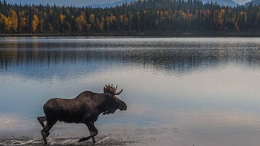 moose in a lake with mountains in the background