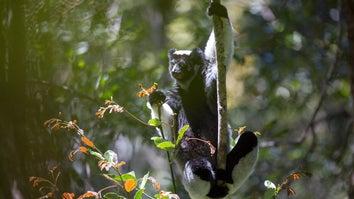 A lemur holding onto a vine with one arm.