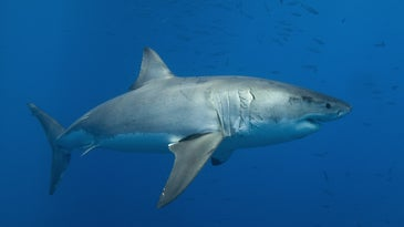 Great white shark that has the potential to bite a swimmer that it mistakes for a seal